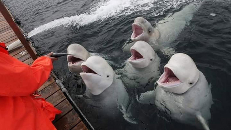 96b509dd26f Greenpeace Demands Release of Killer Whales Held Captive in Russia