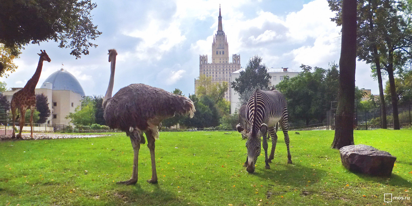 Zebras will lead tours of the Moscow zoo. If you get lost, look for the giraffes. mos.ru
