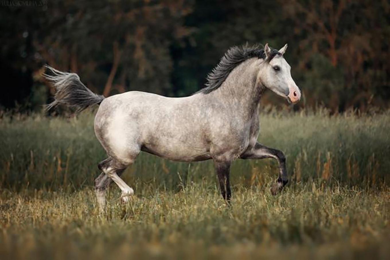 Award-winning Welsh pony Sansa, bought by North Korea in October 2019.  prokoni.ru