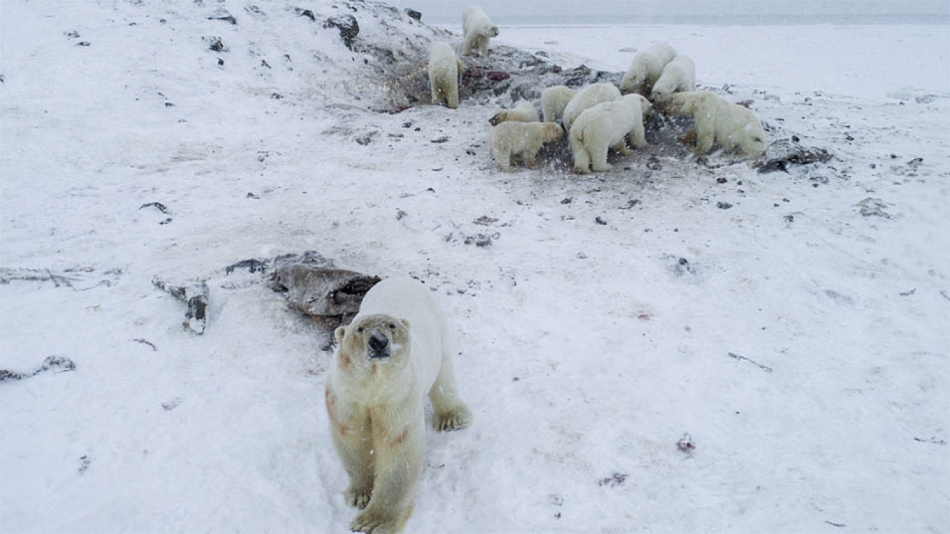 Dozens of Polar Bears Descend Upon Russian Town – WWF