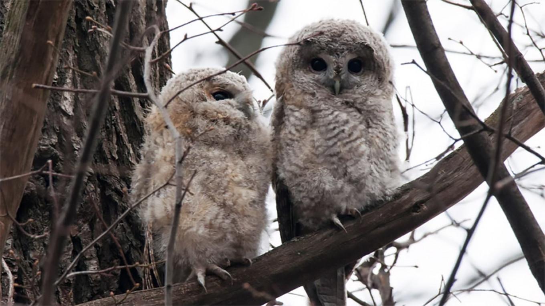 Tawny owlets  Anton Mironenko-Marenkov