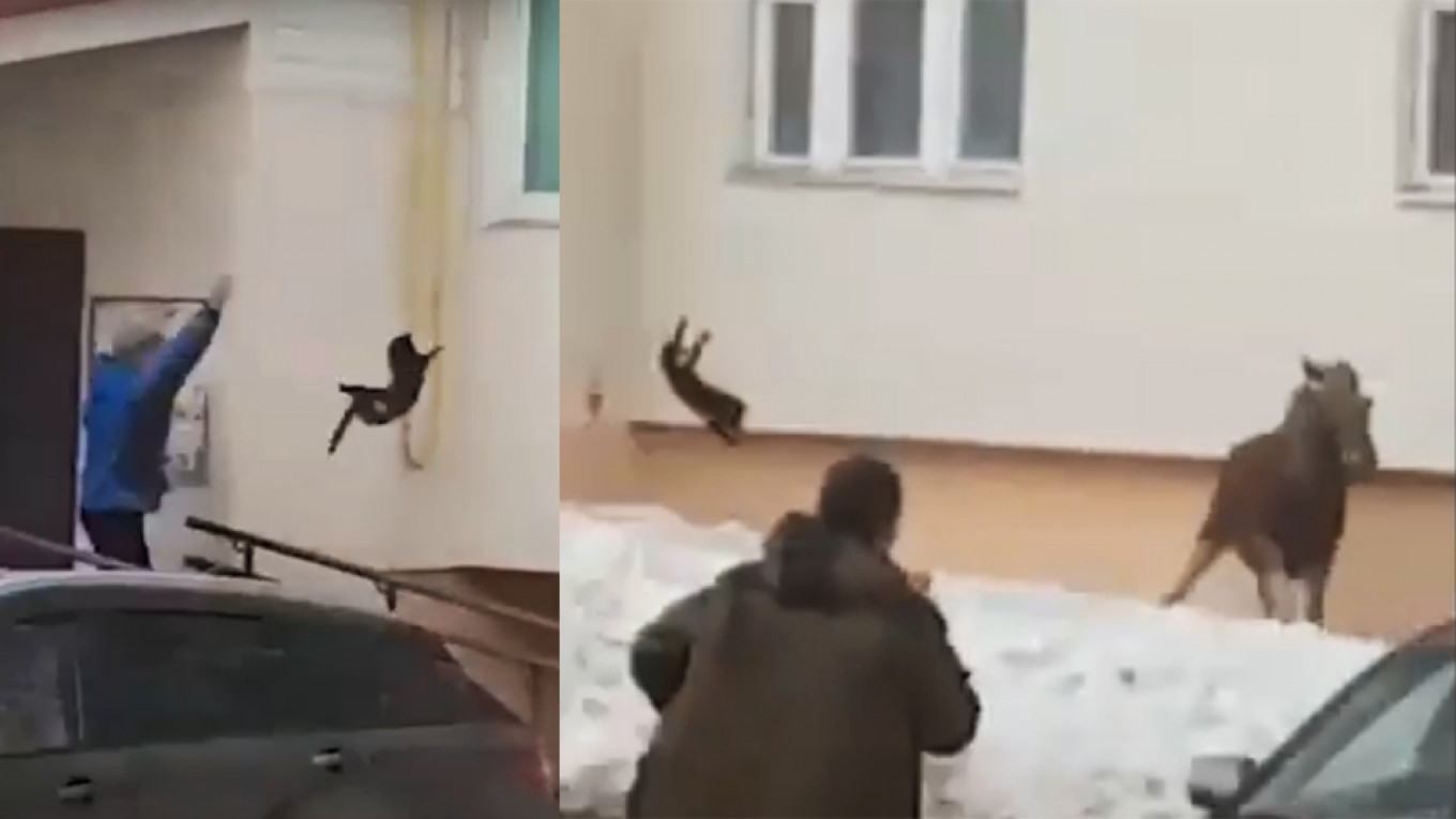 Russian Woman Sends Moose Running With Flying Cat