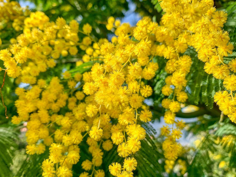 Mimosa flowers. pixabay