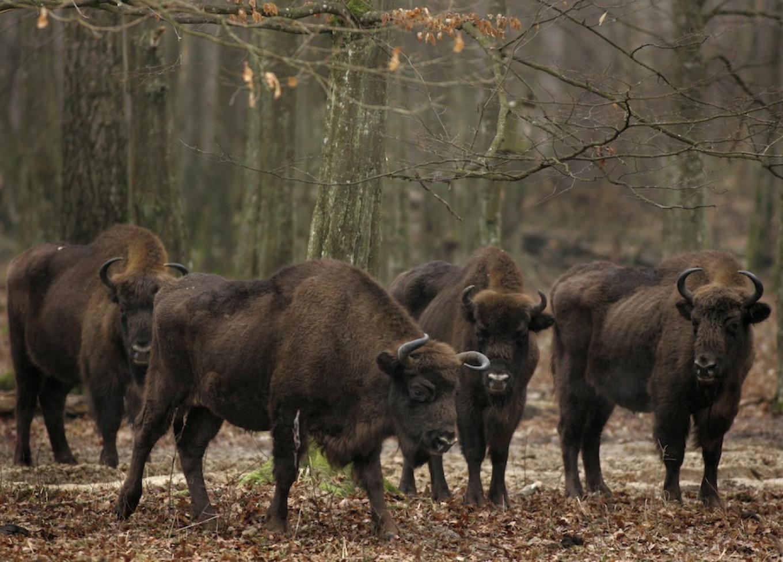 Bisons are seen in an open-air cage in Belovezhskaya Pushcha national park, near the village of Kamenyuki, Belarus. Sergei Grits / AP