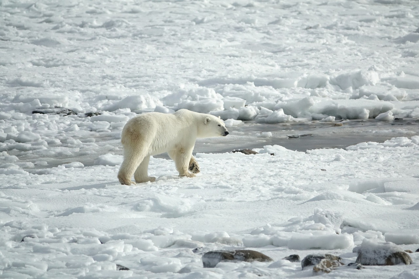 Polar Bear Cannibalism On The Rise In Russia S Arctic Scientists Say The Moscow Times