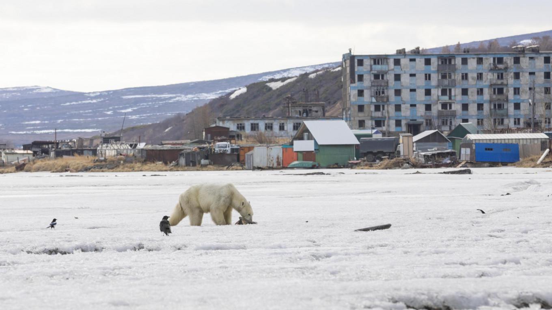 'Drained and Weak' Polar Bear Appears 700km South of Habitat in Russia's Far East
