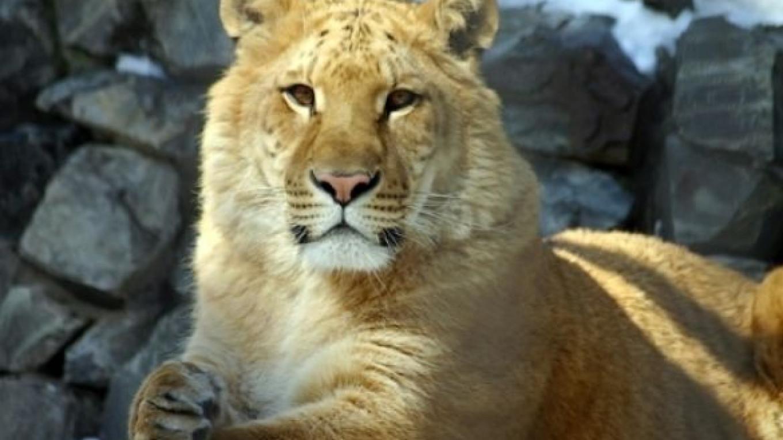 Rare 'Liliger' Born to Lion, Liger Couple