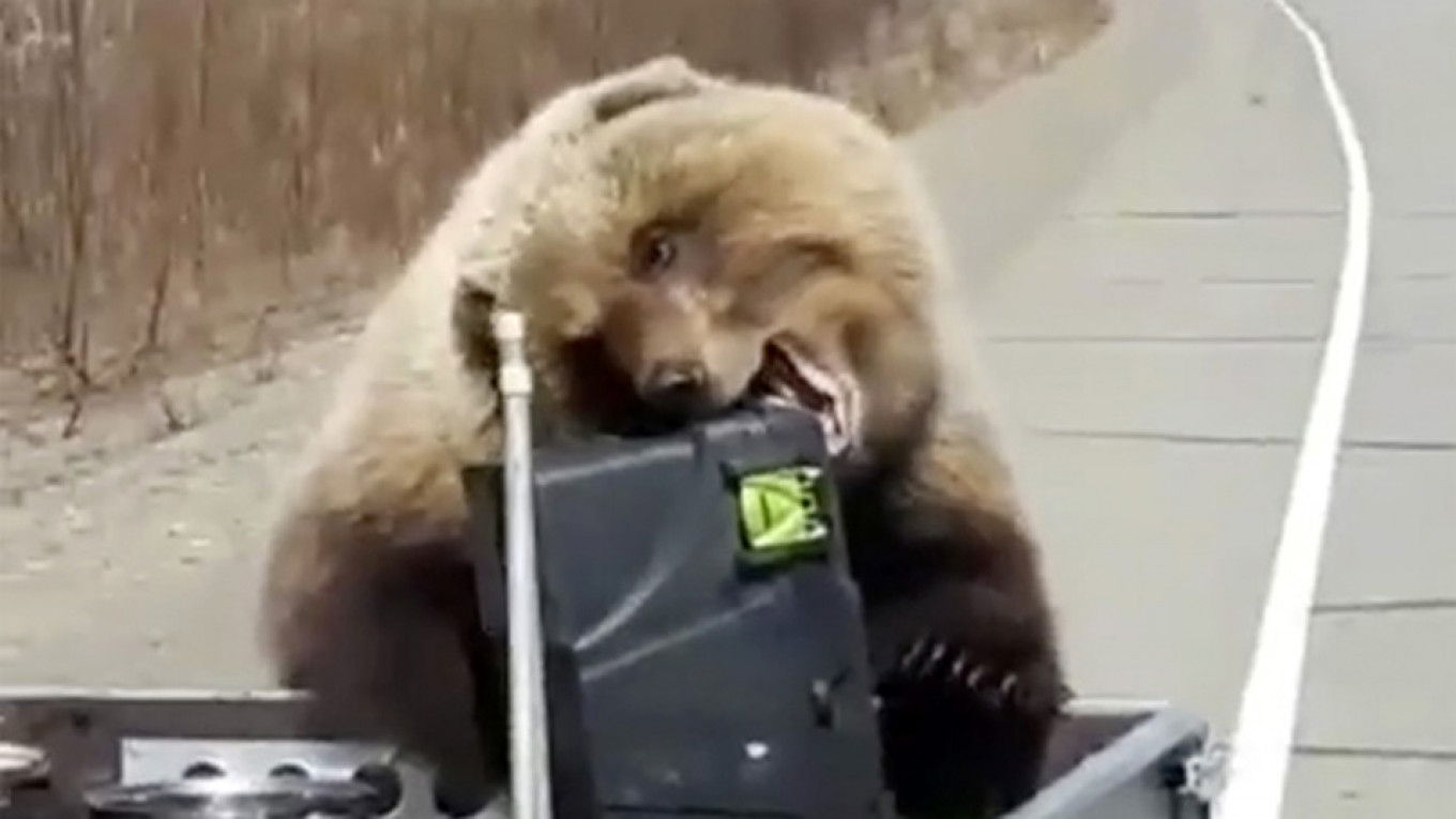 Brazen Brown Bear Makes Off With Hunters' Rations in Russian Far East
