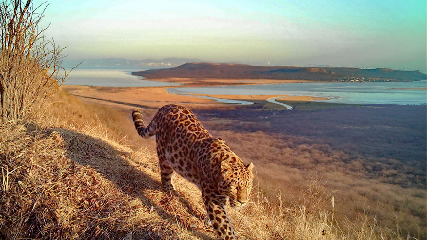 Wild Leopard and Tiger Make On-Camera Debut in Russia's Far East