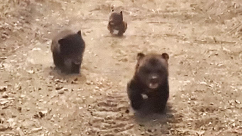 Two mature bears at play