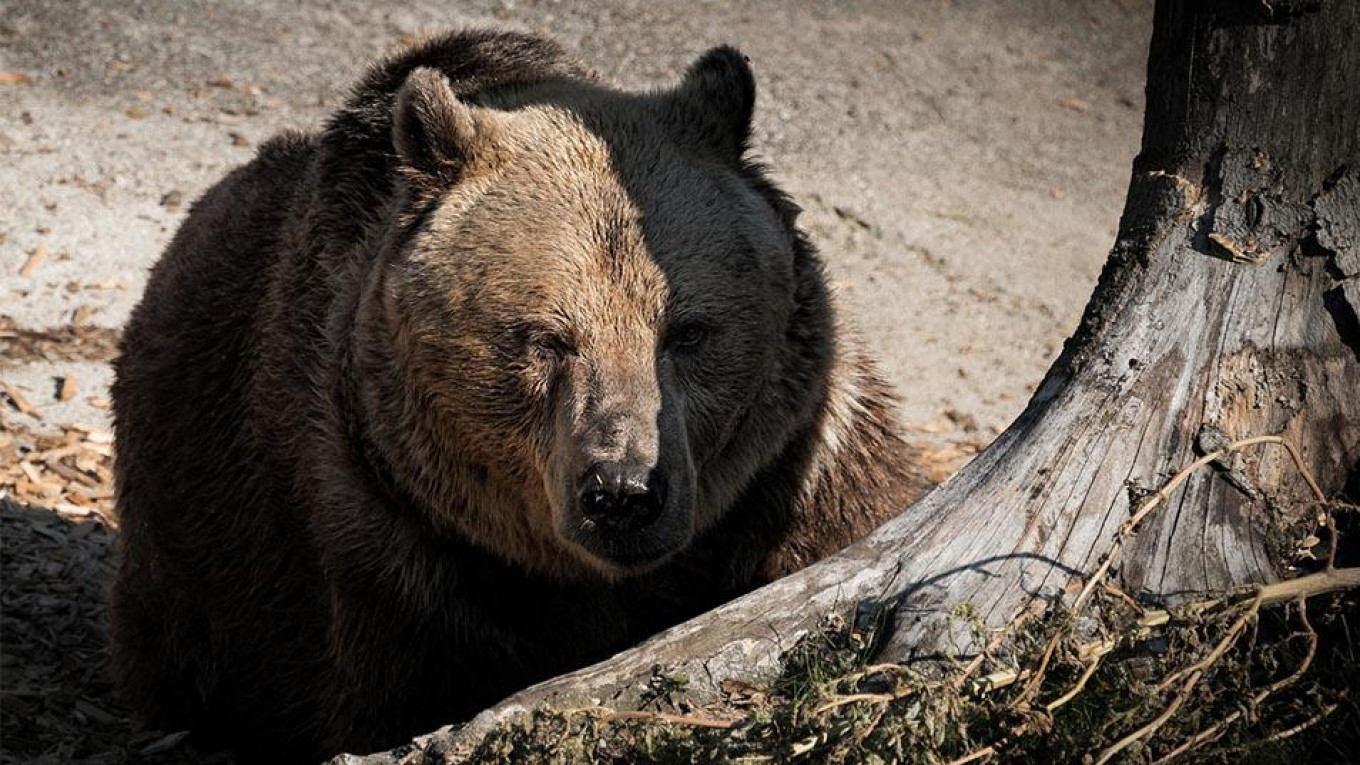 russia s bears aren t turning into 39 aggressive insomniacs. Black Bedroom Furniture Sets. Home Design Ideas