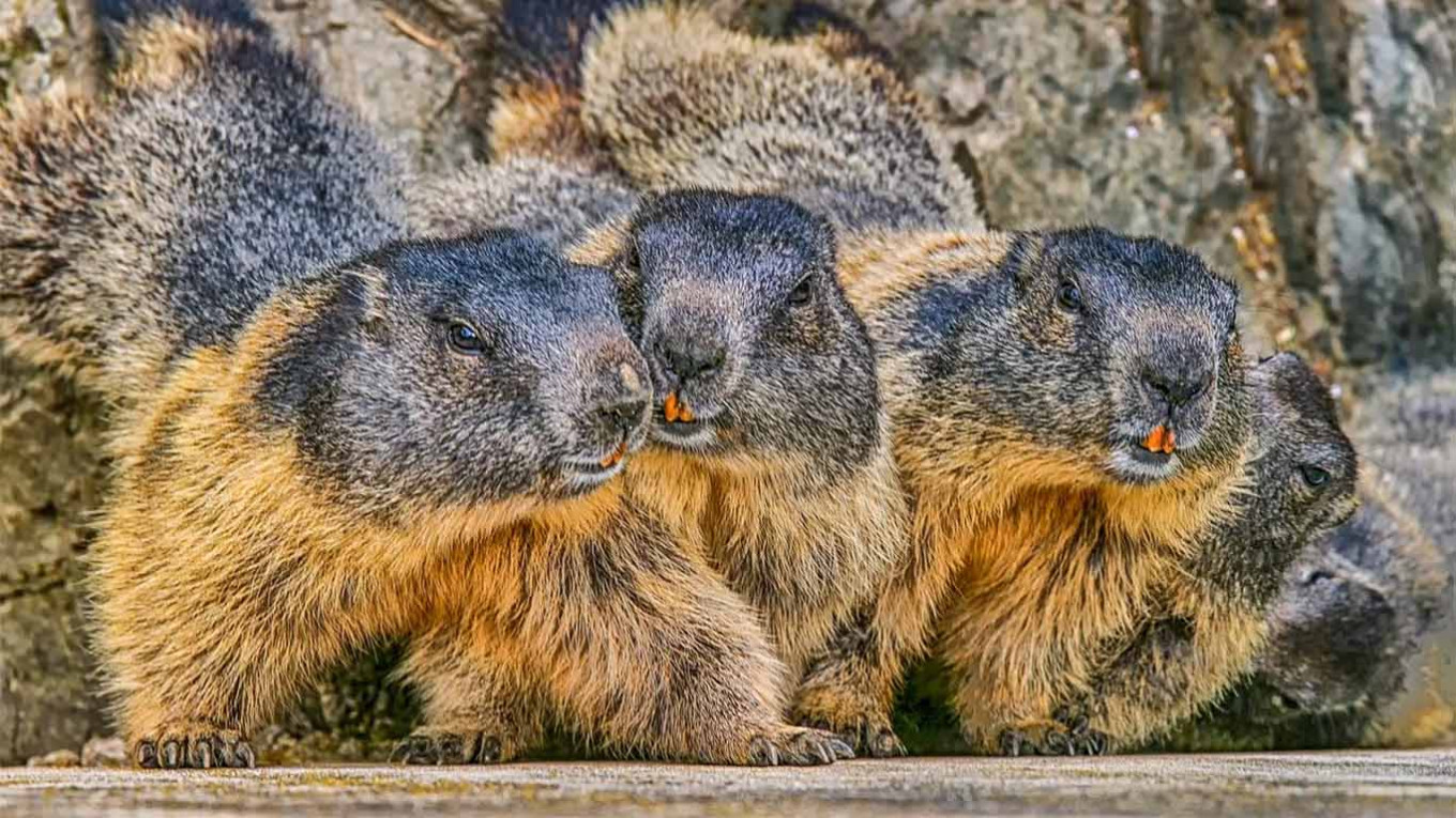Russia Runs Bubonic Plague Checks on Rodents - The Moscow ...