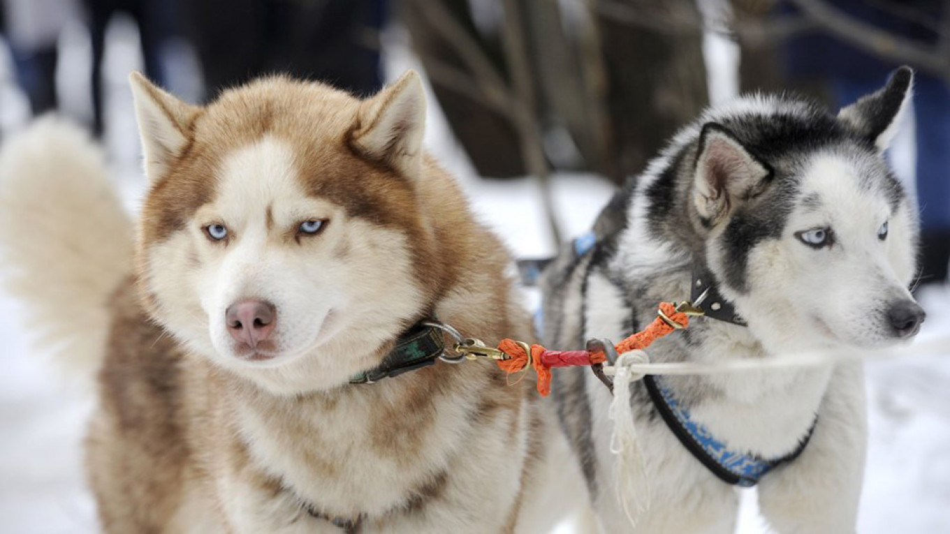 Russia's Northern Fleet Bolsters Its Forces With Siberian Huskies