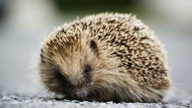 Russian Vet Clinic Treats Hedgehog's Dental Distress