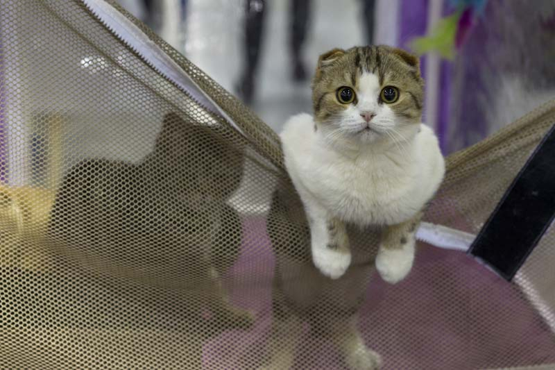 More Passion Than Financial Hardnoses at Moscow Cat Show (Photo Essay)