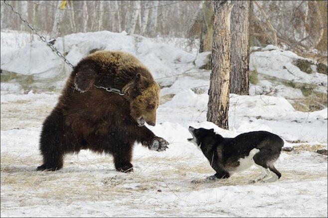 bear-wolf-2.jpg