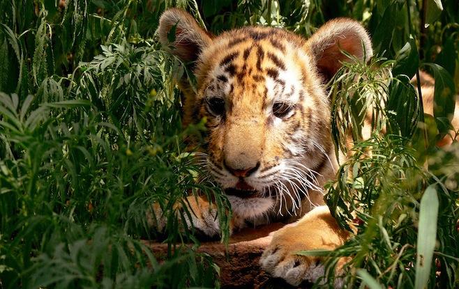 tiger-putin-gift.jpg